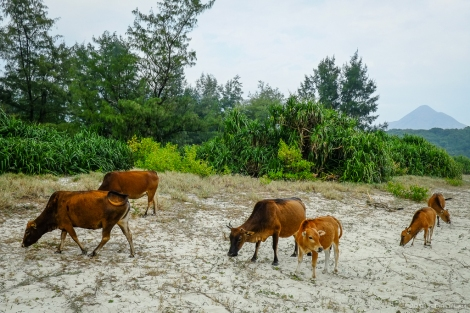 Feral cattle at Ham Tin beach