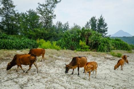 Feral cattle at Ham Tin beach