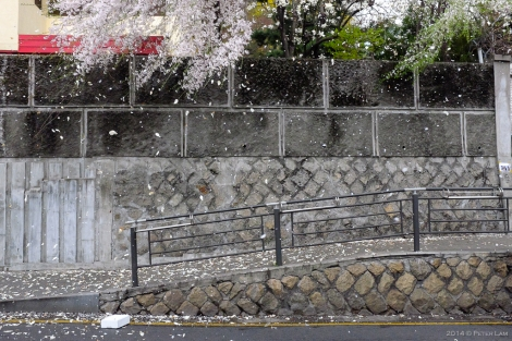 A spring shower of cherry blossoms.